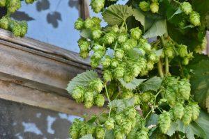 הצמח המטפס כשות - ממרכיבי הבירה